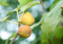 Fig Trees and Sales Professionals:  What Do They Have In Common?